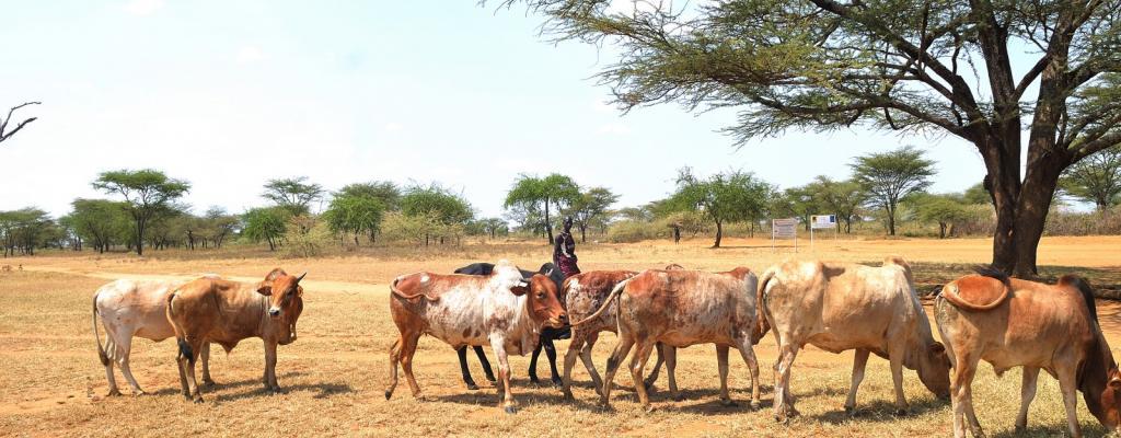 A man herds cattle in Moroto, Karamoja sub-region in North Eastern Uganda